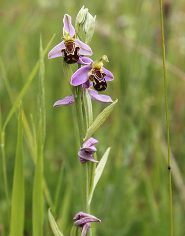 Attignéville Ophrys abeille ©Joelle OSZCZAK