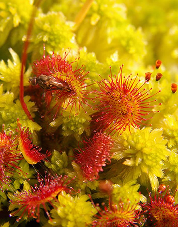 Drosera Rotundifulia croissance sphagnum ©JC Ragué