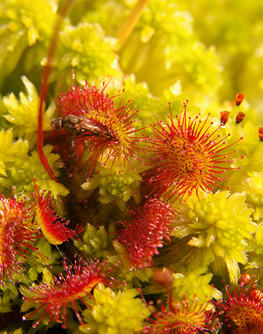 Drosera Rotundifolia crossance sphagnum ©JC Ragué