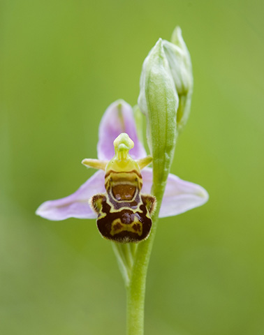 Ophrys Apifera ©Guillaume Gama