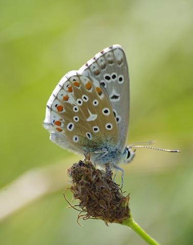 Polyommatus Icarus ©Thibaut Hingray