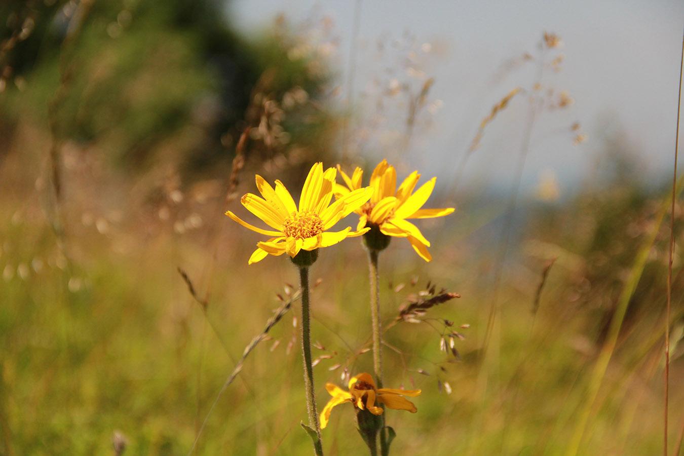 Arnica dans les Hautes Chaumes ©C.Gruber