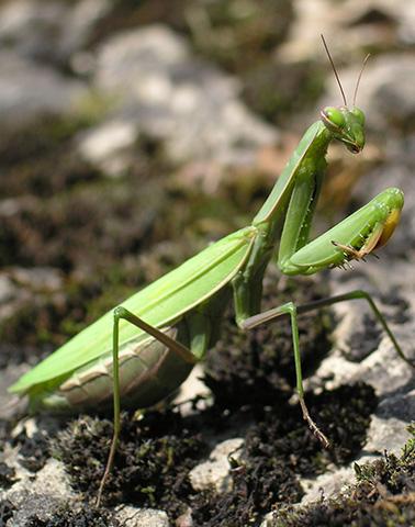 Mantis Religiosa ©Philippe Massit
