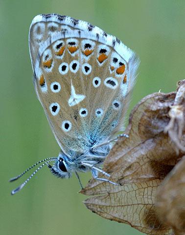 Azuré Bleu Céleste ©David Demerges
